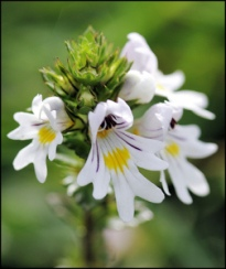Ervalhiça Eyebright