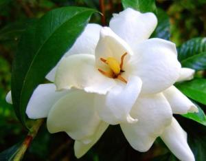 Flor Gardênia